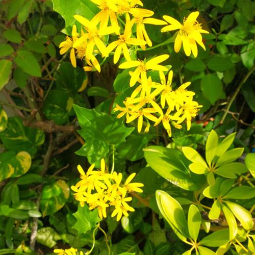 Delairea Odorata (German Ivy)