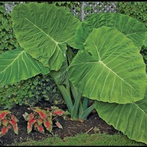 Elephant's Ear Giant (Colocasia Gigantea)