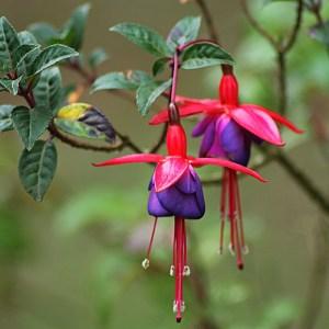 Fuchsia Red-Blue