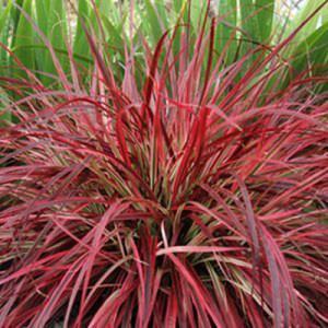Graceful Grasses Fireworks (Pennisetum Setaceum)