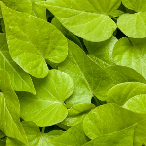 Ipomoea Bright Ideas Cordate Lime