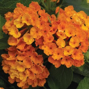 Lantana Bandana Orange