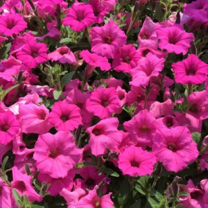 Petunia Supertunia Mini Vista Hot Pink