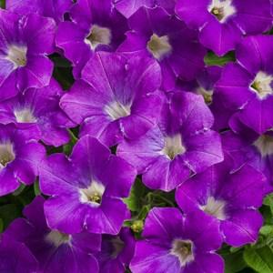 Petunia Supertunia Mini Vista Morning Glory