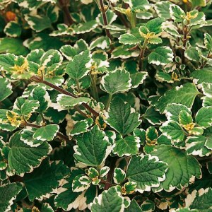 Plectranthus Veriegata