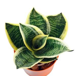 Sanseveria (Snake Plant)