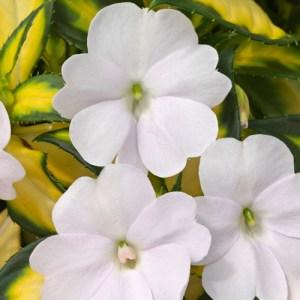 Sun Patiens Vigorous Tropical White