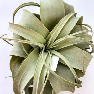 Xerographica Small (Air Plant)