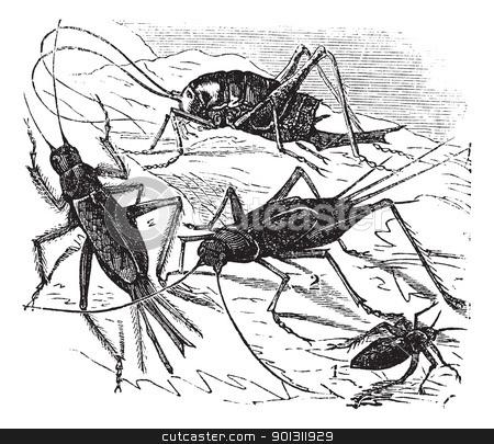 1.Wood cricket (Acheta vittata) 2.Field cricket (Acheta