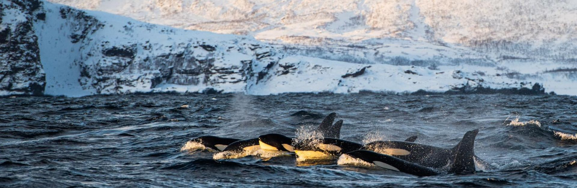 Winter whales of norway
