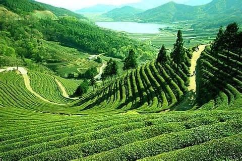ダージリン地方の茶畑
