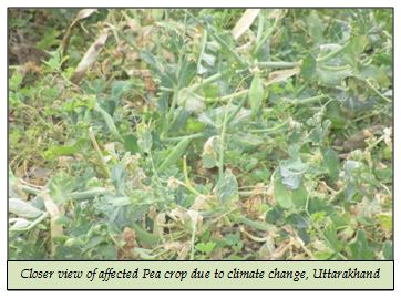 Closer view of affected Pea crop due to climate change, Uttarakhand