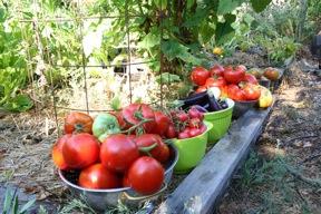 Late summer harvest in the vegetable garden