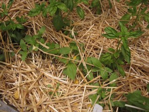 Zinnia seedlings poke up through the straw