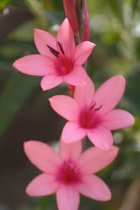 watsonia in bloom