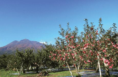 สวนแอปเปิ้ลด้านหน้าภูเขาอิวากิ