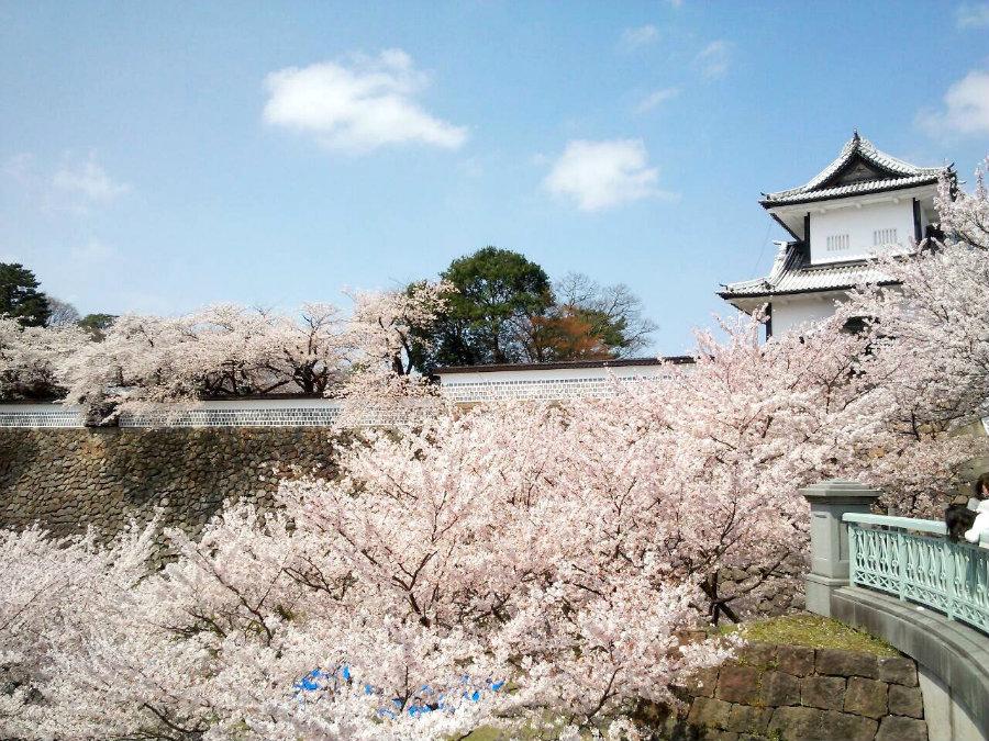 10 Kanazawa-castle-cherry-blossoms