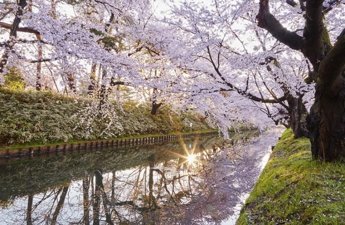 Hirosaki-Sakura-day_001