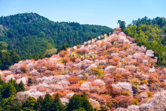 Mountain Yoshino Cherry Blossoms