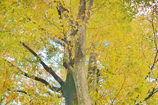 Japanese Elm