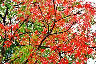 Wax Tree_s