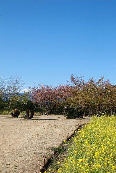 Great view of rape flowers, cherry blossoms and Mt Fuji