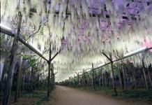 wisteria in Ashikaga park