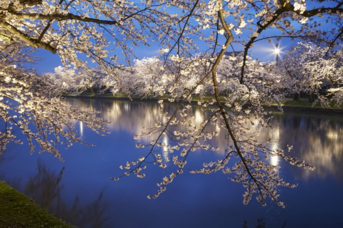 Hirosaki cherry blossoms at night