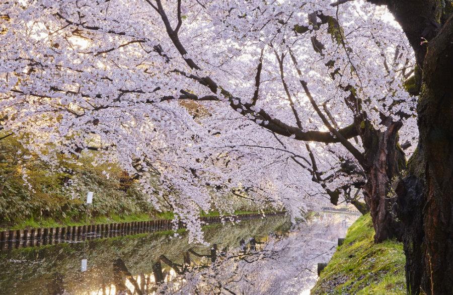 Hirosaki cherry blossoms