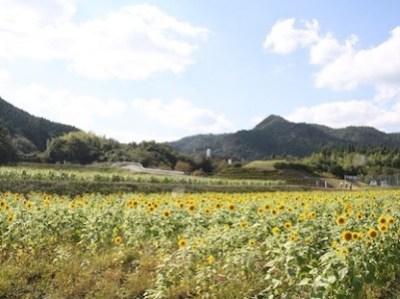 Ichikawa-machi Sunflower Farm