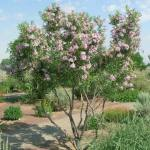 One of Arizona's most famous flowering trees, the desert willow benefits from summer feeding