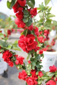 quince scarlet storm