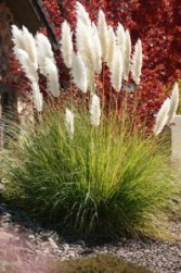 Ivory feathers Pampas Grass