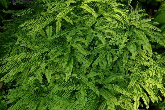 This image has an empty alt attribute; its file name is 1024px-Northern_Maidenhair_Fern-WIKI.jpg