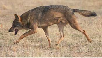 Illegal Immigration? Coyotes Move North, East, and South | Watts Up