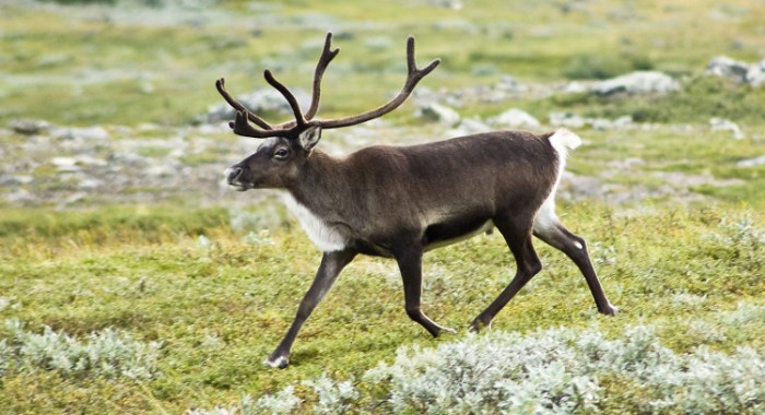 Strolling reindeer (Rangifer tarandus) in the Kebnekaise valley, Lappland, Sweden.