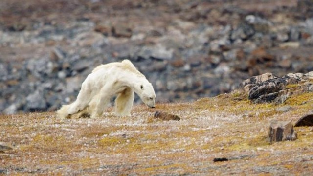 The Polar-Bear-Gate Saga: How a picture is worth a thousand lies – Paul  Nicklen and Michael Mann vs Susan Crockford | Watts Up With That?