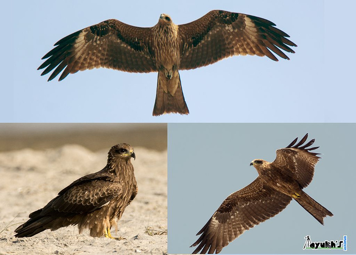 Claim: Birds of Prey Deliberately Setting Wildfires | Watts