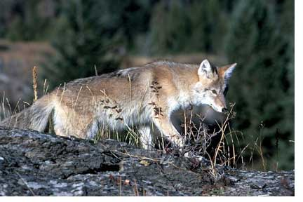 Illegal Immigration? Coyotes Move North, East, and South