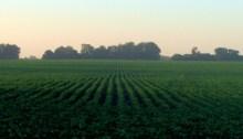 Argentinian Soya Field.