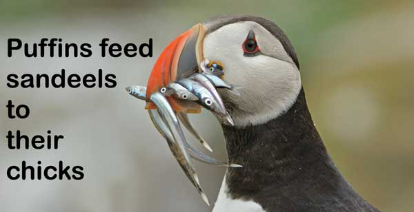 The Problem with Puffins | Watts Up With That?