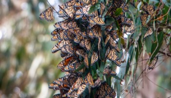 Protecting monarch butterflies' winter home could mean