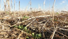 Cover crop in South Dakota