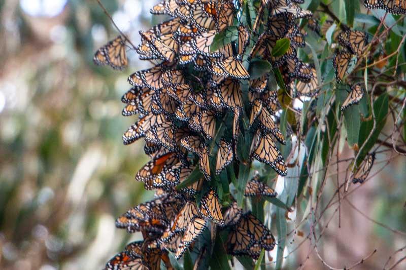 ctm_Ca_monarchs
