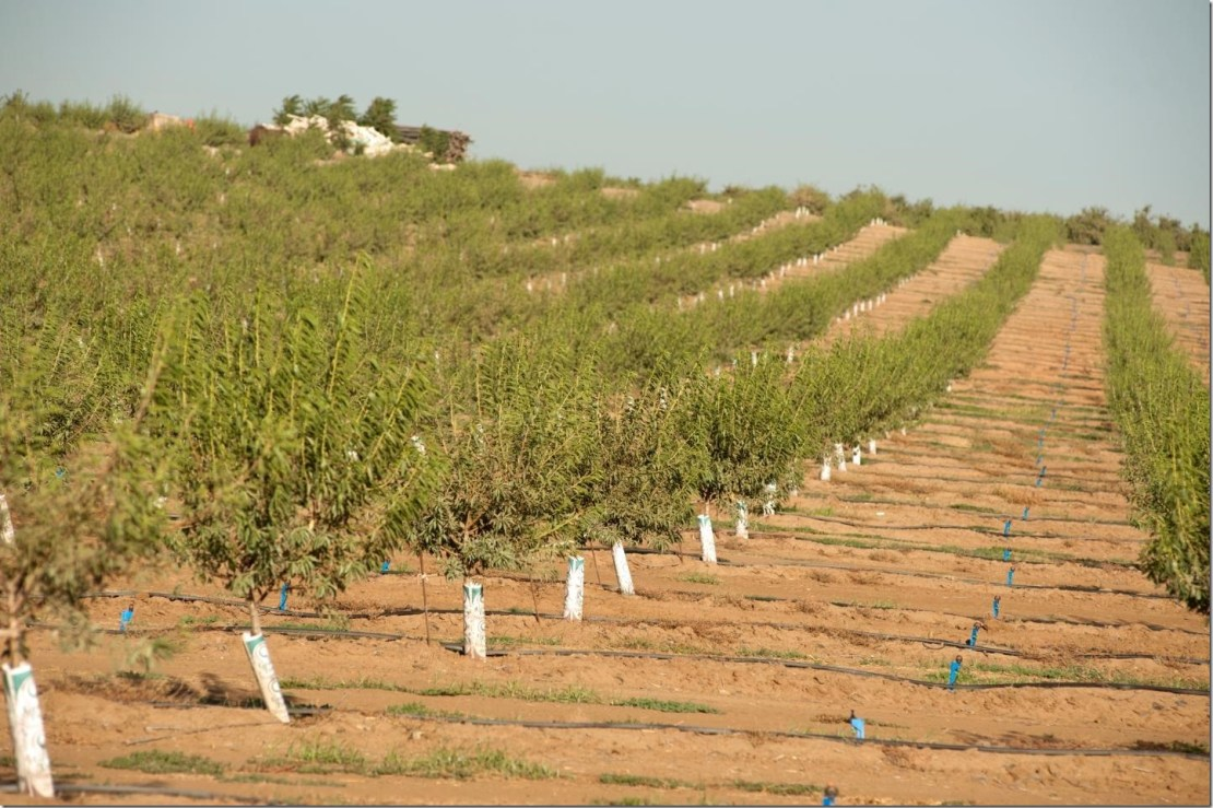 An orchard of young trees withstands drought in California's Central Valley in 2014. The ability to predict heat waves in the Central Valley could help better prepare and protect crops and people from the impacts. Credit UC Davis