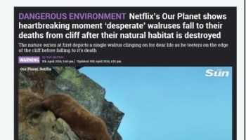 Our Planet' film crew is still lying about walrus cliff