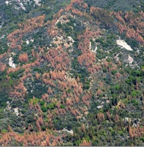 Dead and dying trees dot the landscape in the Sierra Nevada during the region's recent drought. Credit USDA Forest Service