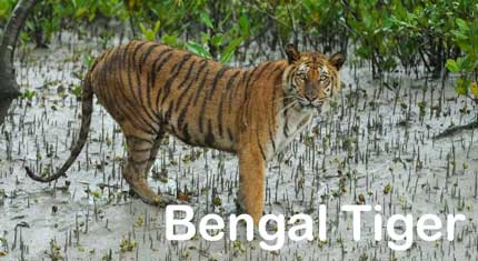 Not Threatened By Climate Change: Bengal Tigers | Watts Up