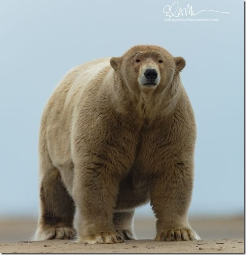 kaktovik-ak-fat-adult-male-polar-bear-mid-september-2019_ed-boudreau-photo-permission-to-use-e1569820166992