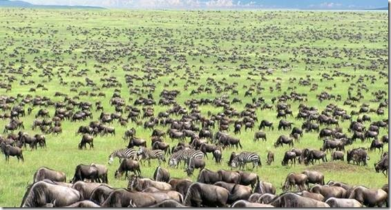 Figure 1. Africa's Serengeti with Abundant Meat on the Hoof